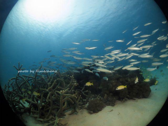 ヨスジフエダイの群れがいるサンゴに大量のグルクン群れがアタック♪