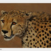 Cheetah-Portrait