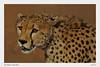 Cheetah-Portrait