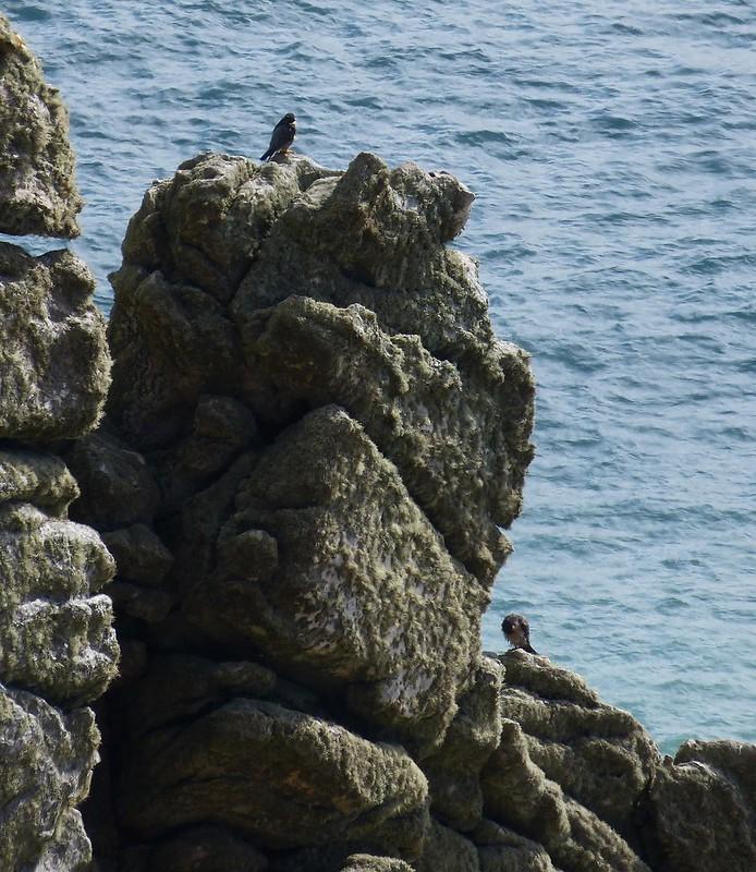 P1070172 - Pergrine Falcon Pair, Trewavas Cliff