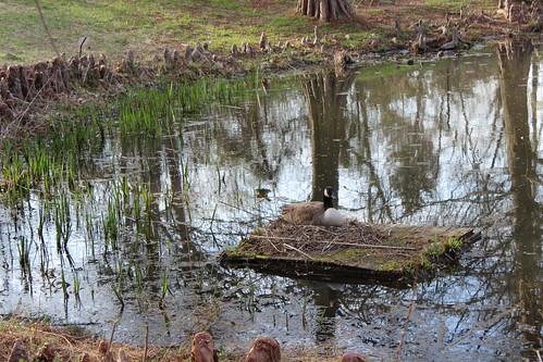 Meadowlark Botanic Gardens - Canadian Goose Nest