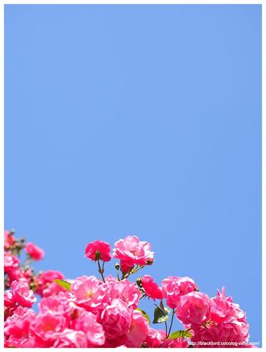Rose 140528 #07