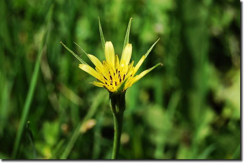 Yellow Salsify(yellow goatsbeard) 5