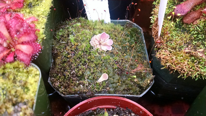 Pinguicula sp. Tehuacán with leaf pull.