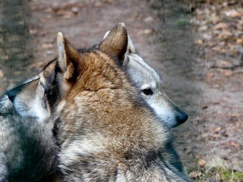 friends ❤ half dog*half wolf