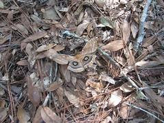 Moth on dead leaves