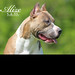Small photo of Alize' - American Pit Bull Terrier