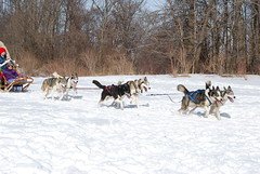 dog, vehicle, mushing, dog sled, land vehicle, sled dog racing, sled dog, sled,