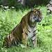 Kirana the female Tiger by Steve Wilson - over 9 million views Thanks !!