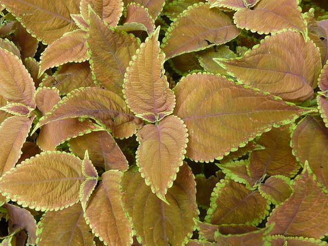 Chicago, Coleus Plants