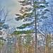 Tall Pine by WmPitcher