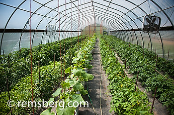 Greenhouse with vegetables.Thurmont MD.