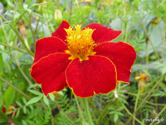 Red Marigold 1