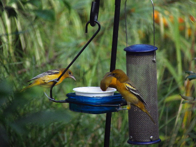 Orioles at feeder1 8:23:13