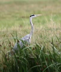 animal, prairie, grass, fauna, heron, pelecaniformes, shorebird, beak, bird, wildlife, egret,