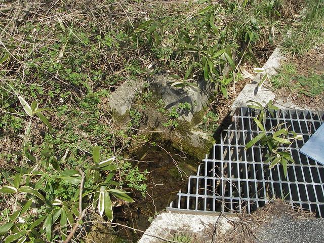 たくさんの卵嚢が見つかったのは,実は道路側溝の枡.カスミサンショウウオは,仕方なくここで産卵していた.