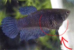 [IMG]  [Kinh nghiệm - Chia sẻ] Liều lượng và các loại thức ăn để nuôi cá betta. 9667731679 7d600d8e5e o