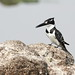 Pied Kingfisher, Ceryle rudis at Borakalalo National Park, South Africa