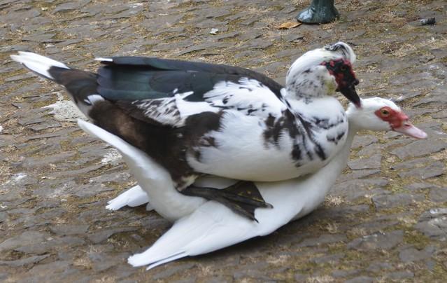 Duck sex xxx images 85
