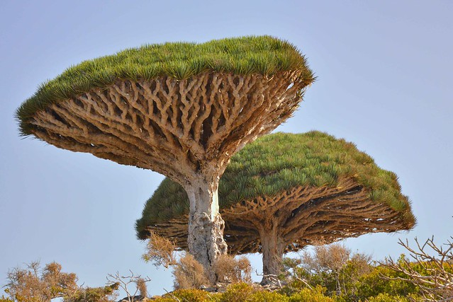 Dragon's Blood Tree, Socotra Island