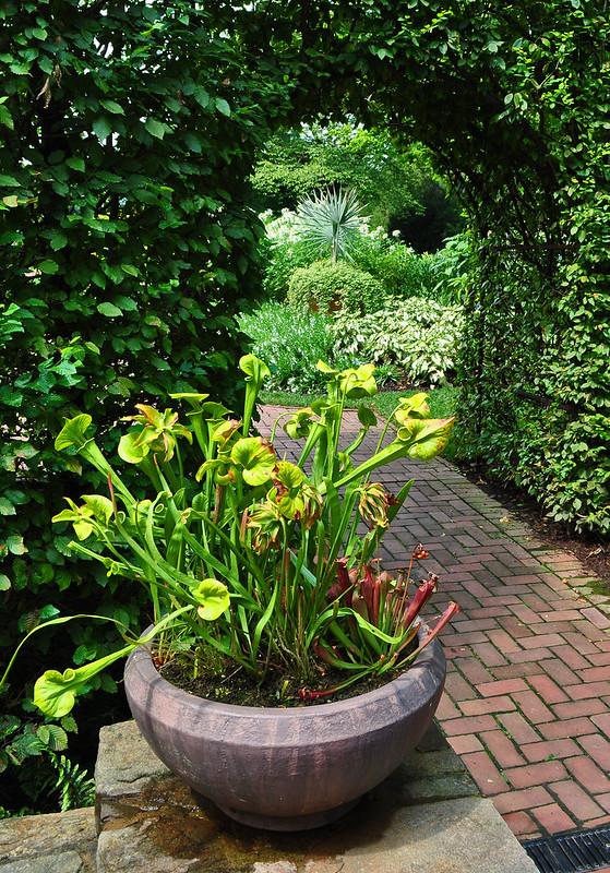 Sarracenia Planter (1)