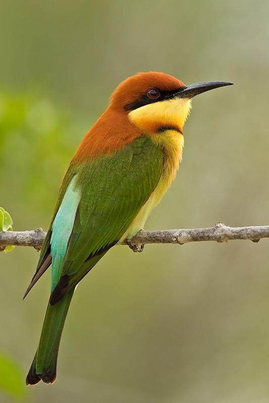 Chestnut Headed Bee-eater Sri Lanka 2013-11-27