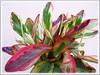 Peperomia clusiifolia 'Jellie' (Variegated Red Edge Peperomia