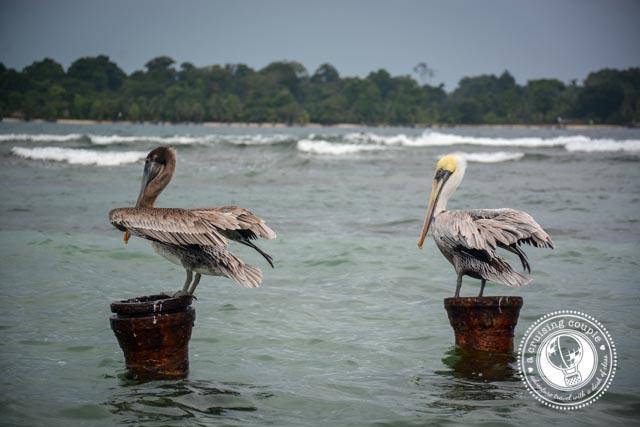 Birds Bocas Del Toro