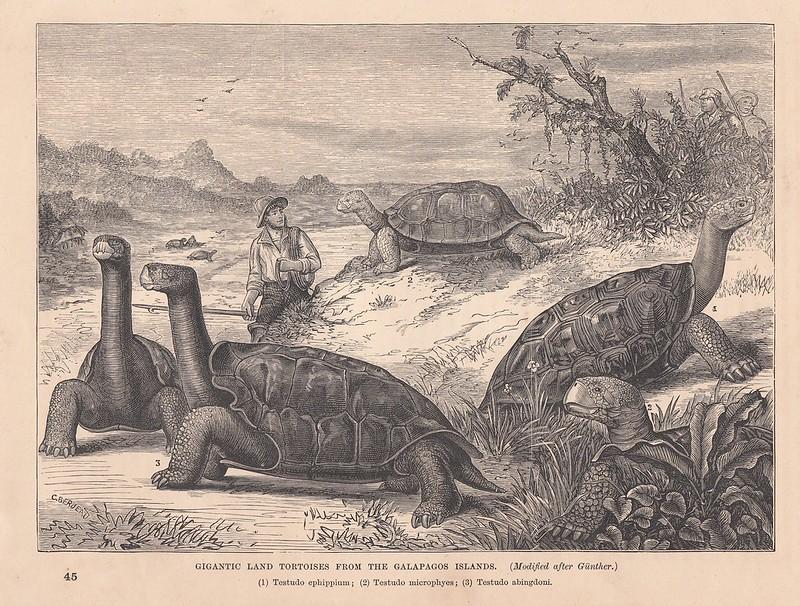 404f55da7 Hunting Galápagos tortoises. (Engraving by J. Berjeau, ca. 1888, based on a  drawing by Albert Günther.)
