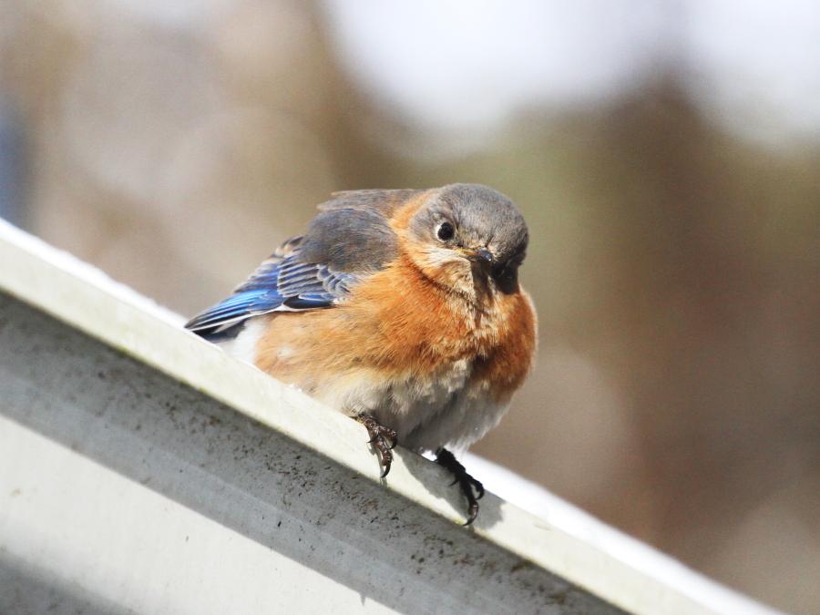 lady_bluebird