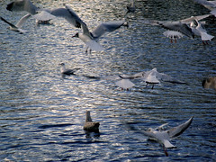 Mainly Black Headed Gulls on the River Esk, Musselburgh...