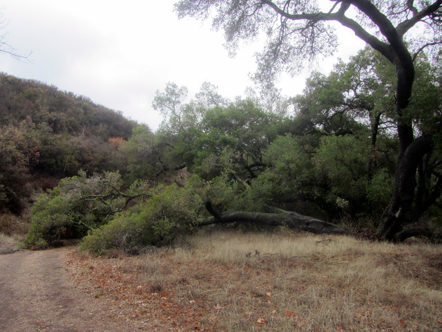 california oak lost in the rain