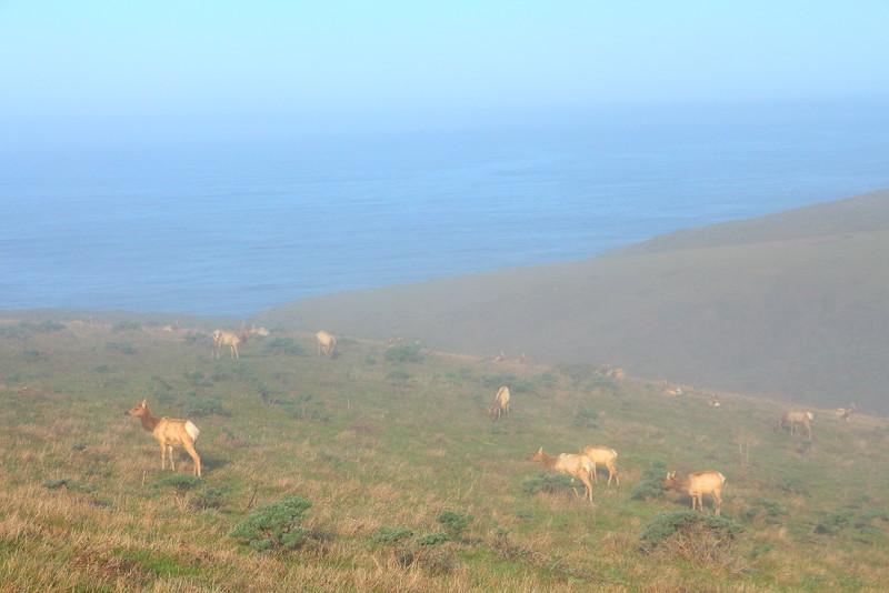 IMG_2670 Tule Elk in Fog