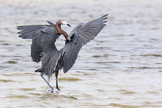 Florida: Reddish Egret Celebrating Brunch at Bunche