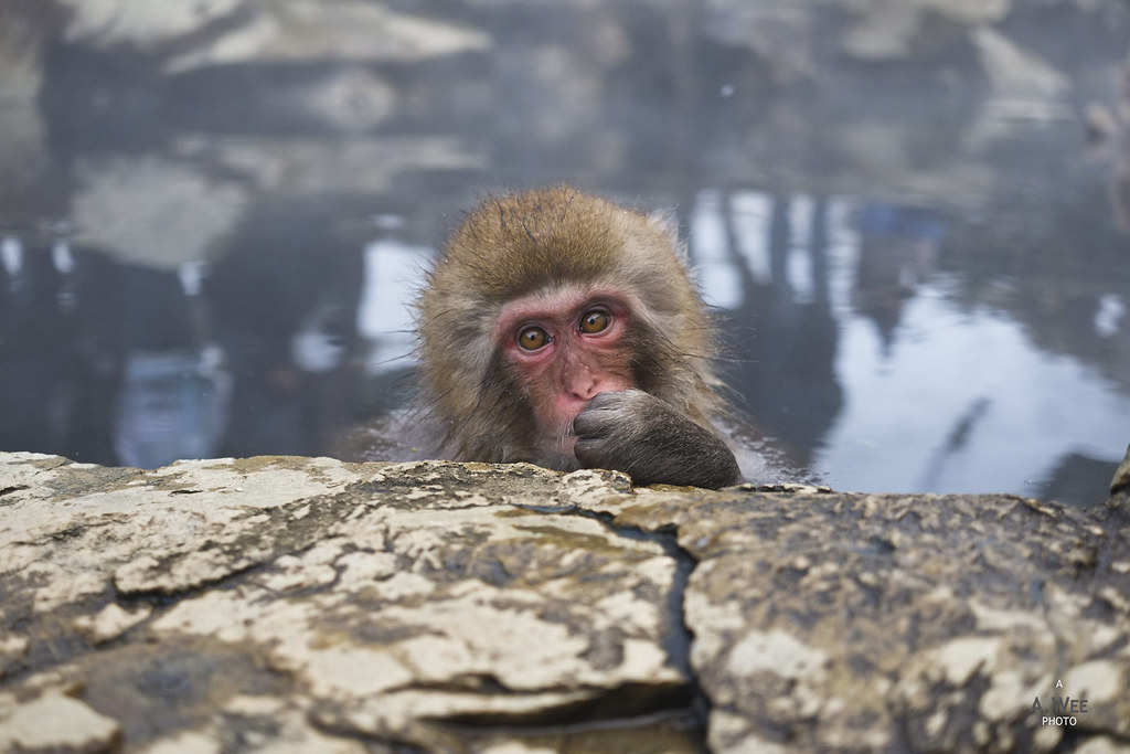 Snow Monkey in Yudanaka
