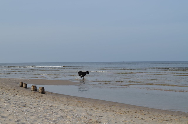 Świnoujście beach Poland_Bailey dog running into the sea