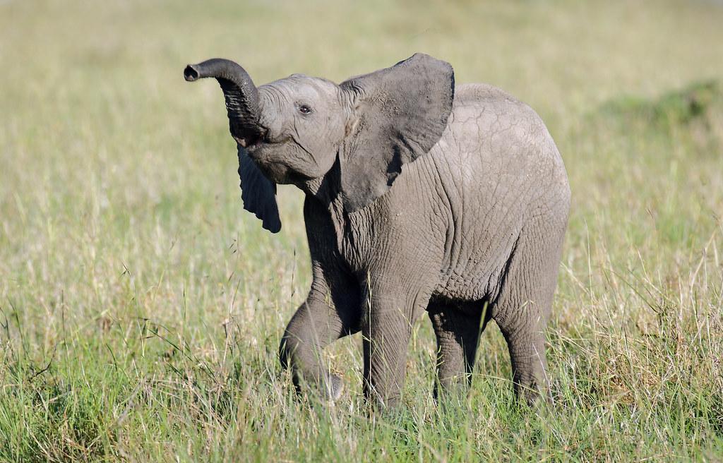 Young elephant Masai Mara