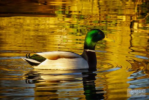 uk england duck unitedkingdom bushypark hamptonwick nex7