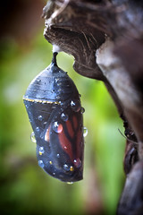 Monarch Chrysalis 05-31-12