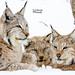 Lynx trio by CecilieSonstebyPhotography