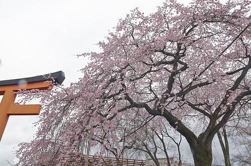 【写真】2014 桜 : 平野神社/2020-06-29/IMGP5566