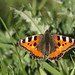 Small photo of Small Tortoiseshell (Aglais urticae) butterfly