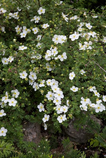 wild white flower. Botanical garden. Lviv, Ukraine