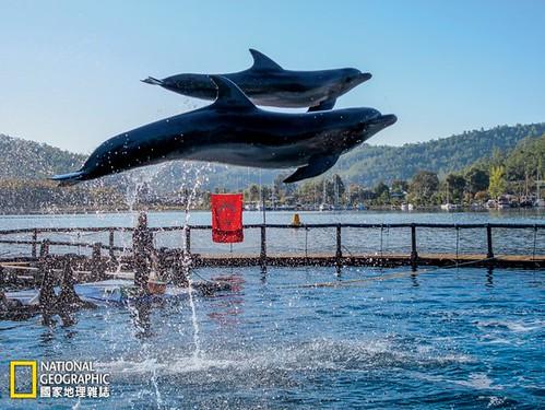 湯姆和米夏被野放到愛琴海後,很快就各奔前程了。後來湯姆受到漁民威脅,必須被重新安置──不過牠不願再度被捕獲,奮力抗拒。「牠的眼 神看起來完全是隻野生動物,」福斯特的一位助理說。「太酷了。」攝影:JEFF FOSTER。圖片來源:《國家地理》雜誌中文版2015年6月號