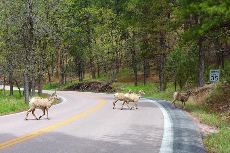 IMG_9086 Bighorn Sheep Crossing