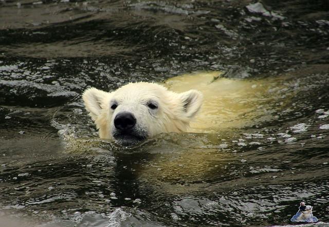 Eisbär Fiete im Zoo Rostock 11.07.2015  0242