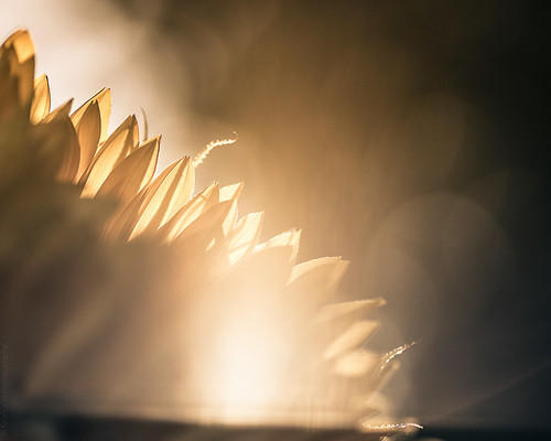 Sunflower // 10 08 15