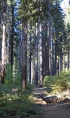 A walk into sequioa forest