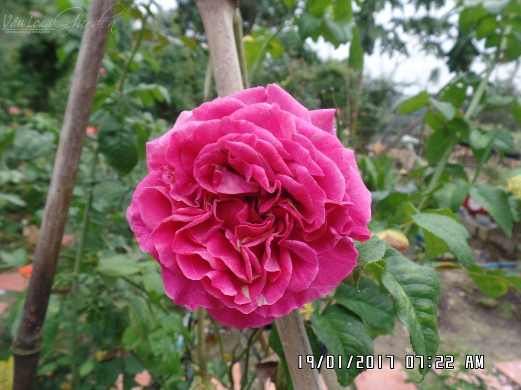 hoa hong cat canh kate rose (11)+vuonhongvanloan.com.JPG