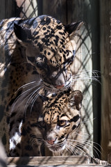 Clouded Leopards Grooming in Shadows